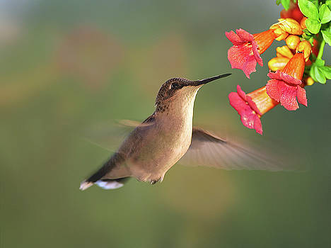 Hummer with Trumpet Vine Flowers by Judy Johnson