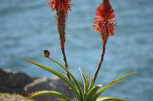 Hummers and Aloes by Kathy Vilim