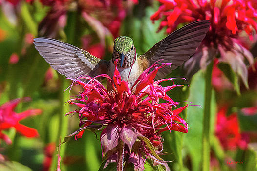 Hummingbird at Eagles Nest by Stephen Johnson
