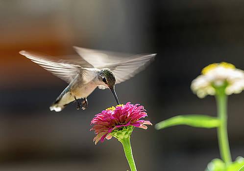 Humming Bird by Bob Marquis