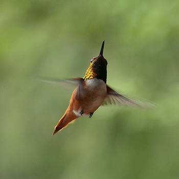 Humming Bird by Larry Poulsen