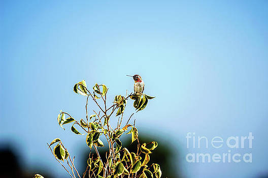 Humming Bird on a branch by Micah May