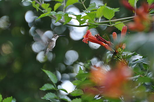 Humming Bird by Peter  McIntosh