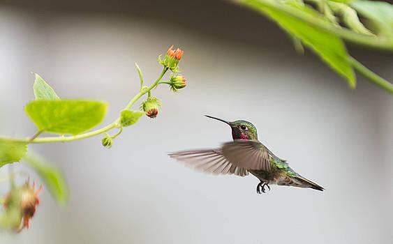 Humming Bird by Sunman