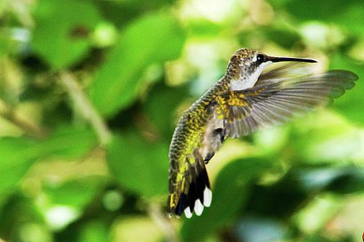 Hummingbird 02 - 9-13 by Barry Jones