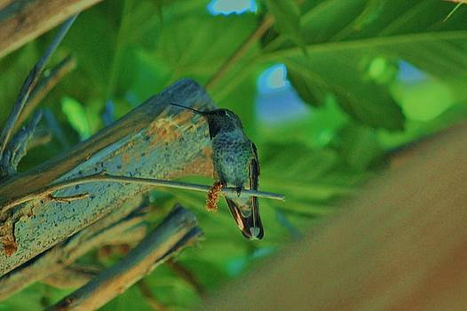 Hummingbird 1 by Helen Carson