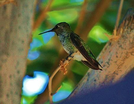 Hummingbird 3 by Helen Carson