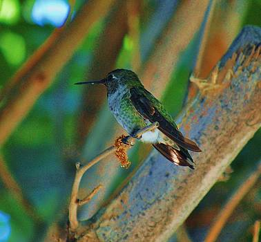 Hummingbird 4 by Helen Carson