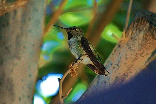 Hummingbird 6 by Helen Carson