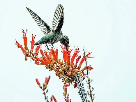 Tam Ryan - Hummingbird 7642