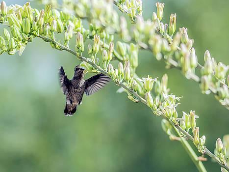 Tam Ryan - Hummingbird 7718-cr