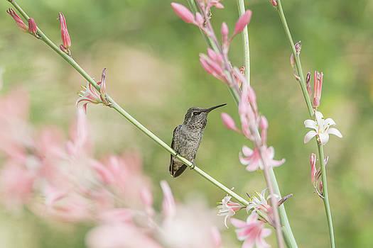 Tam Ryan - Hummingbird 7740
