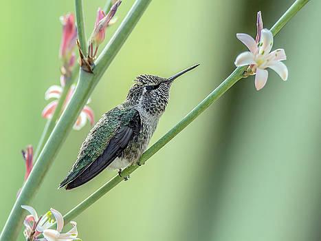 Tam Ryan - Hummingbird 7763