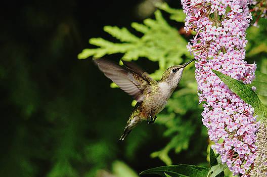 Debbie Oppermann - Hummingbird And Buddleia