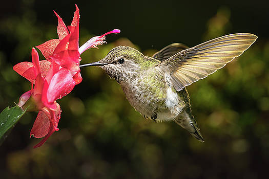 Hummingbird and her favorite red flower by William Lee