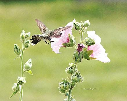 Hummingbird and Pink Hollyhocks by Margaret  Slaugh