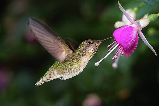 Hummingbird and queen fuchsia by William Freebilly photography