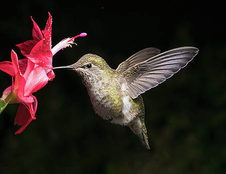 Hummingbird and red flower by William Lee