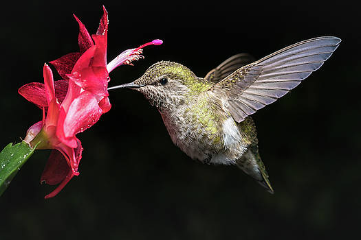 Hummingbird and red flower with dark background by William Lee