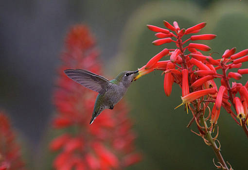 Hummingbird and succulent by Ruth Jolly