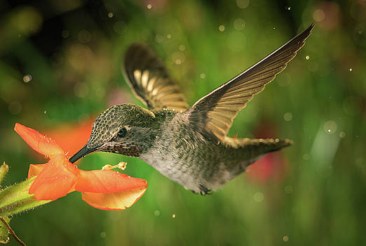 Hummingbird and the monkey flowers by William Lee