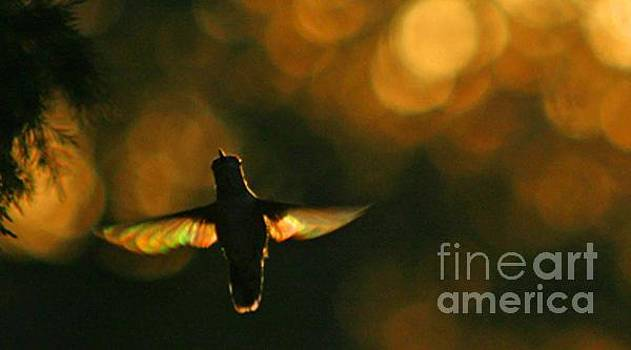Hummingbird Angel Wings Photography by CheyAnne Sexton