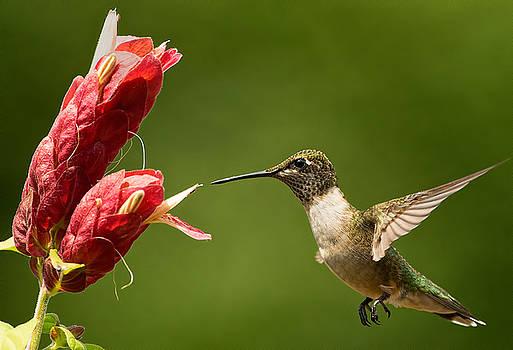 Hummingbird Approaches Flower by William Jobes