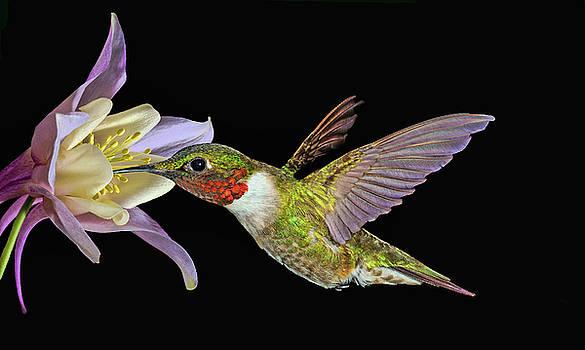 Hummingbird Art by Richard Macquade
