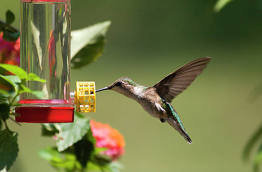 Jill Lang - Hummingbird at a Feeder
