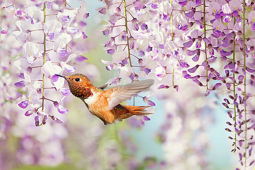 Hummingbird at Wisteria by Susan Gary