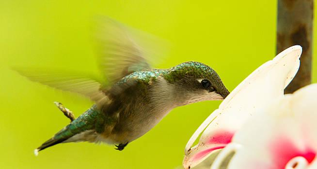 Hummingbird by BG Flanders
