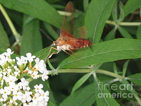Hummingbird Clearwing Moth by Iris Newman