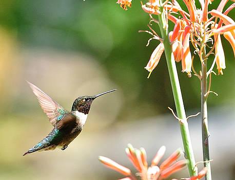 Wayne Nielsen - Hummingbird Contemplates in Flight