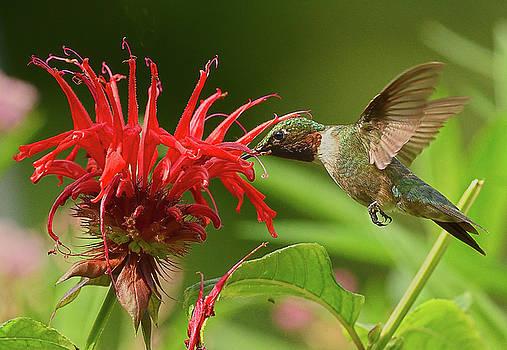 Hummingbird Delight by William Jobes