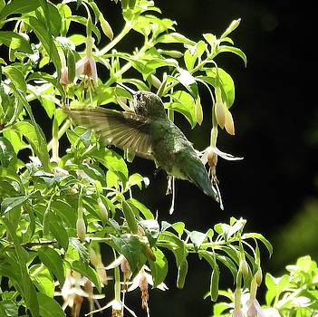 Hummingbird Feeding by Brian Chase