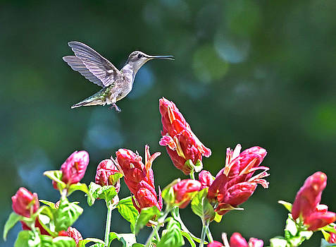 Hummingbird Flyby Red Flowers by William Jobes
