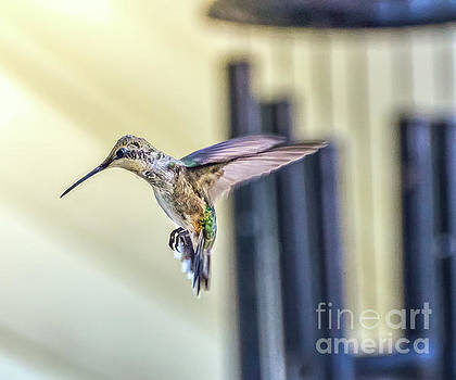 Hummingbird  Flying by Peggy Franz