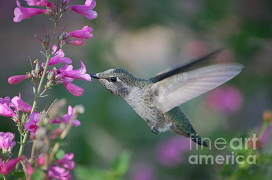 Hummingbird by Frank Stallone