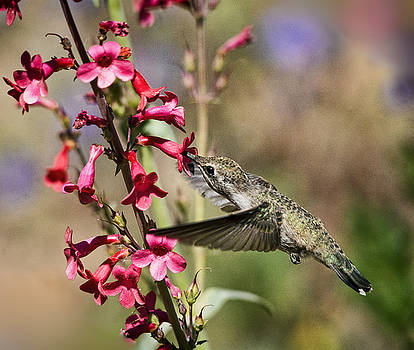Saija Lehtonen - Hummingbird Haven