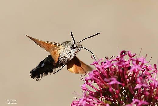 Hummingbird Hawk moth  by Dean Eades