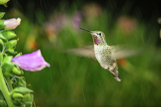 Hummingbird hovering in rain by William Lee
