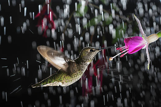 Hummingbird hovering in rain with splash by William Freebilly photography