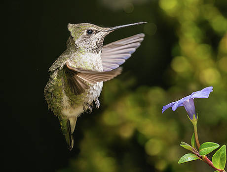 Hummingbird hovering in strong wind by William Lee