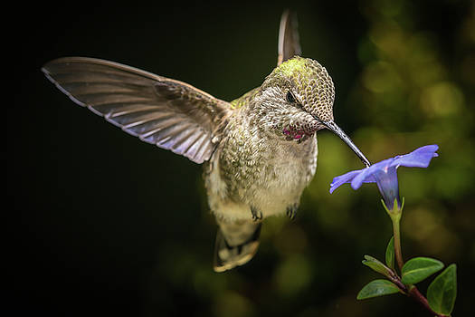 Hummingbird in angled direction with blue flower by William Lee