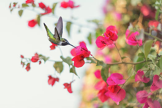 Hummingbird in Autumn Bougainvillea by Susan Gary
