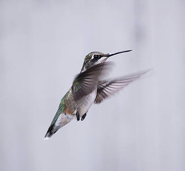 Cathy  Beharriell - Hummingbird In Flight