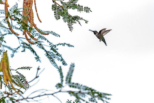 Hummingbird In Flight Isolated on White Sky by Susan Schmitz