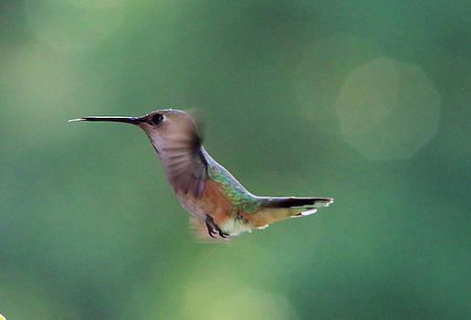 Hummingbird in flight by Jeff Swan