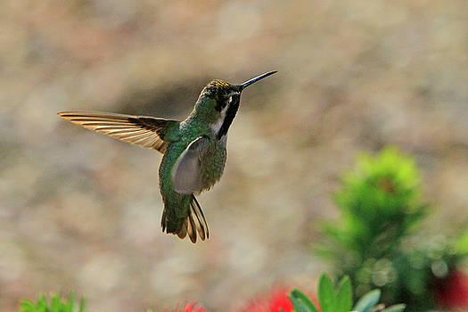 Hummingbird in Flight by Shoal Hollingsworth
