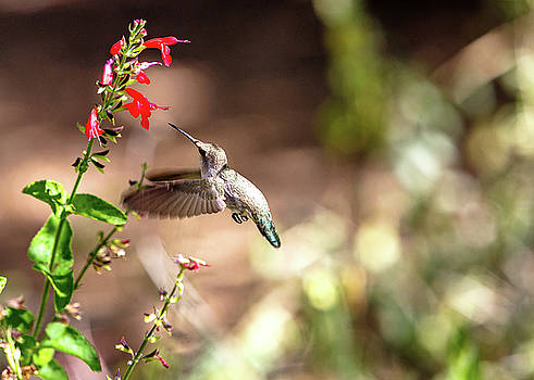 Susan Schmitz - Hummingbird In-Flight With Red Wildflower